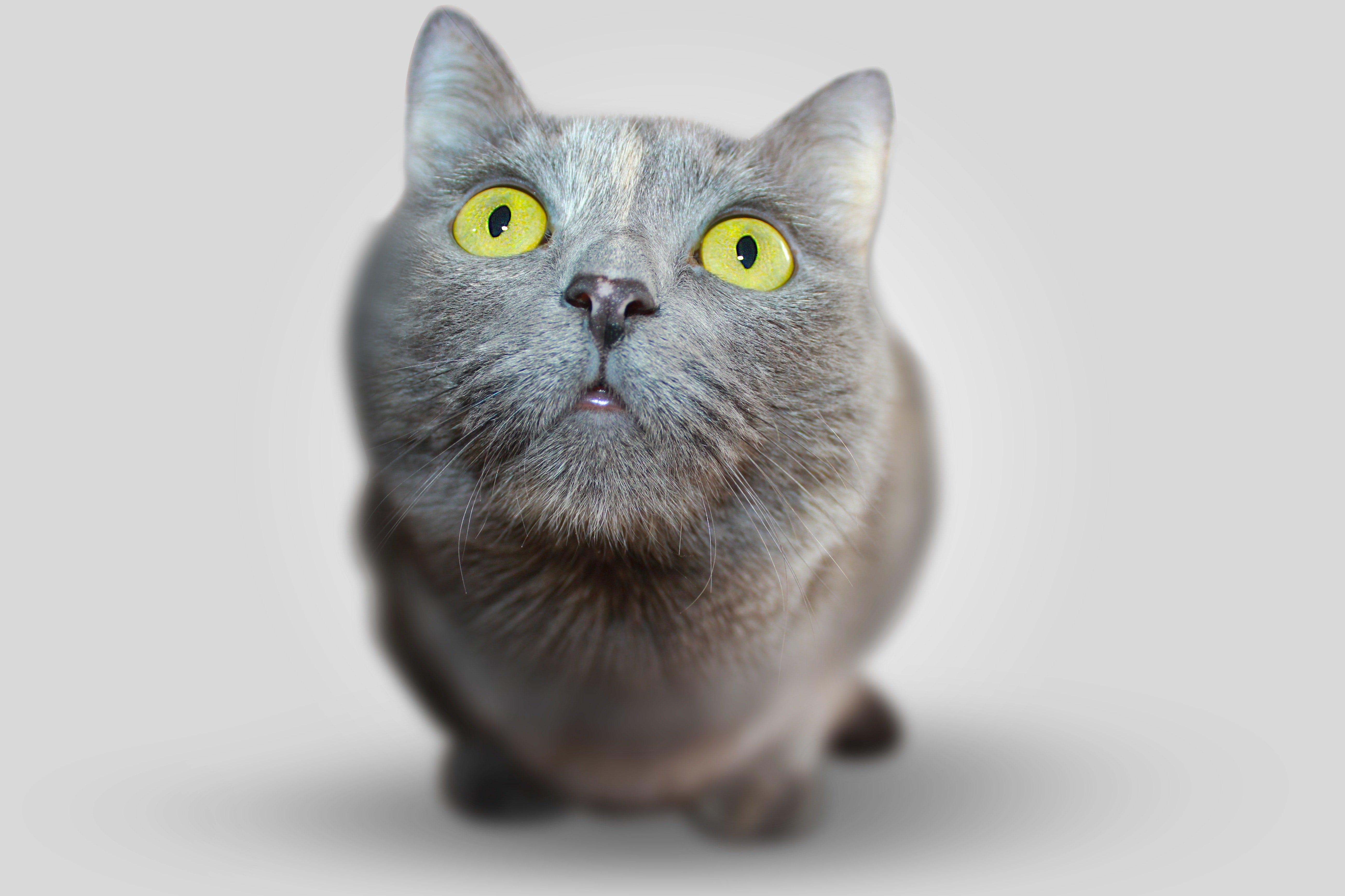 regina-pisica