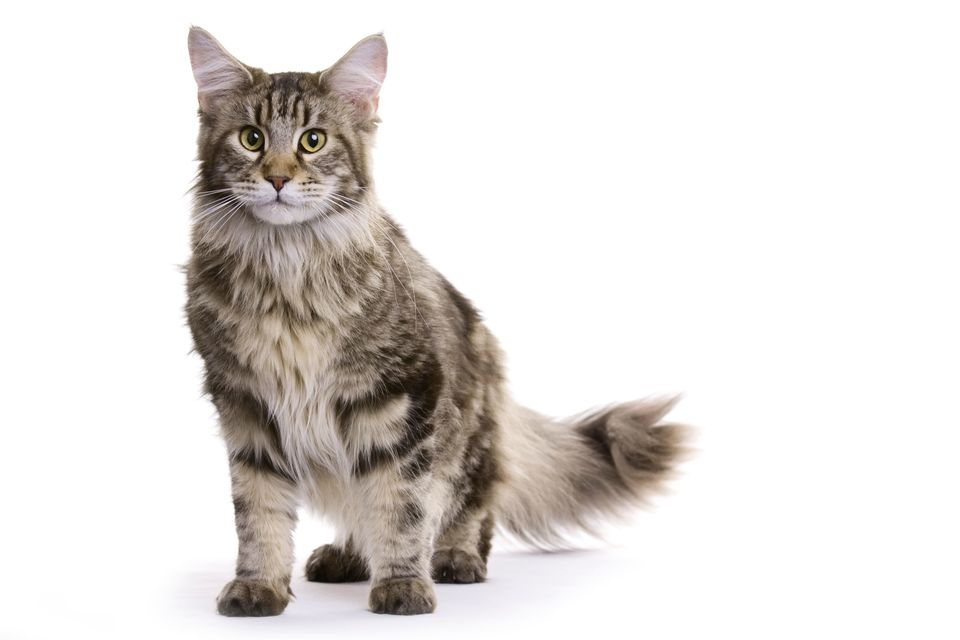 Pisica Maine Coon - caracteristici, îngrijire, sănătate (Enciclopedia pisicilor)
