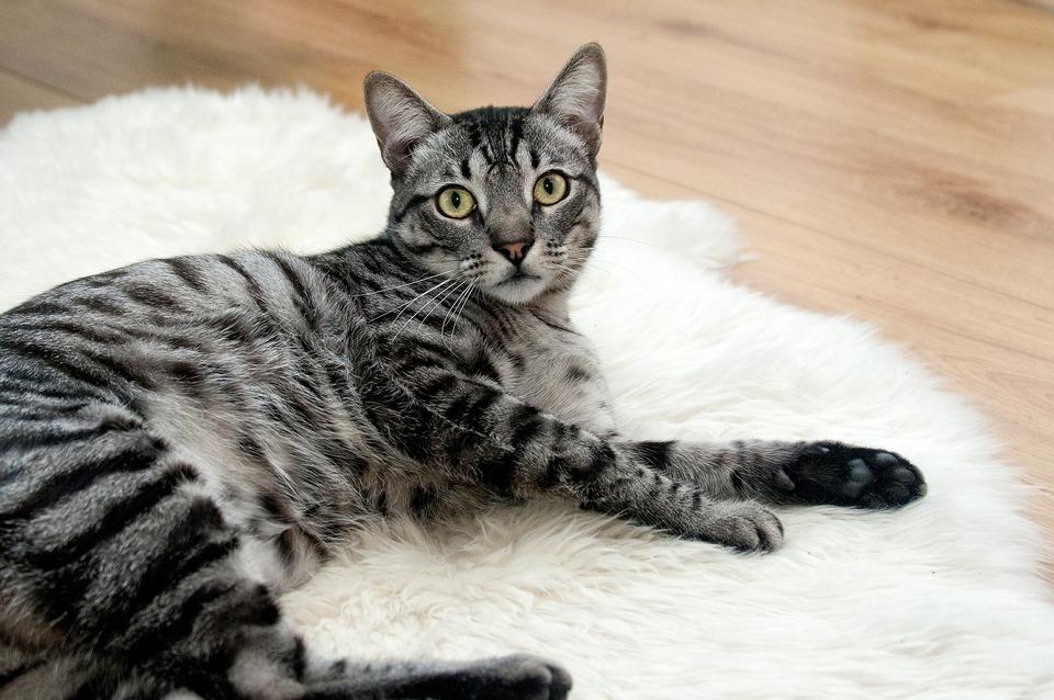 Deparazitarea pisicii – metode, frecvență și indicații