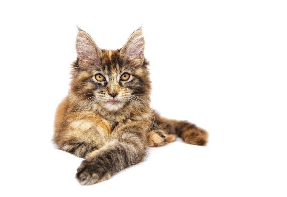 Pisicile Maine Coon au ochi mari, ovali, ușor înclinați, care sunt intens pigmentați.