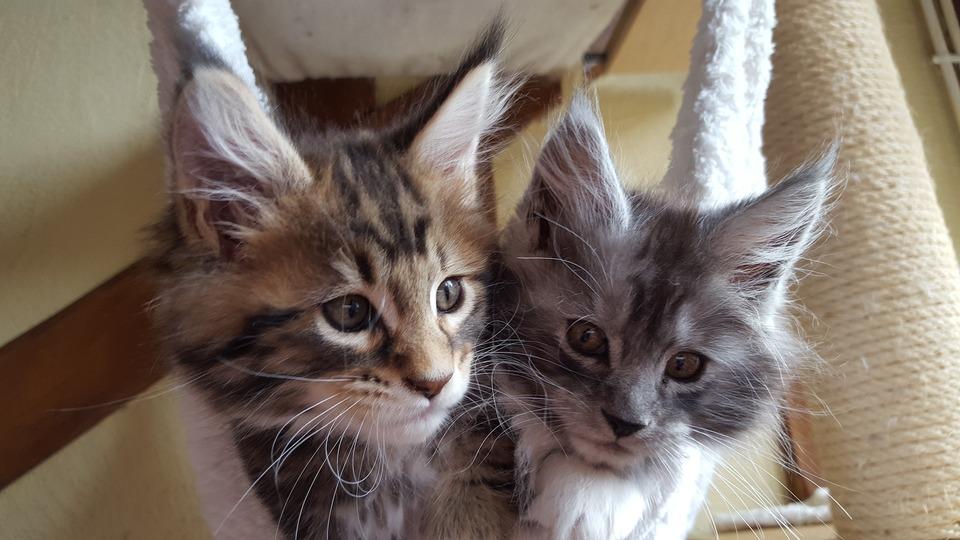 Pisicile Maine Coon au deja mustăți lungi și peri pe urechi.