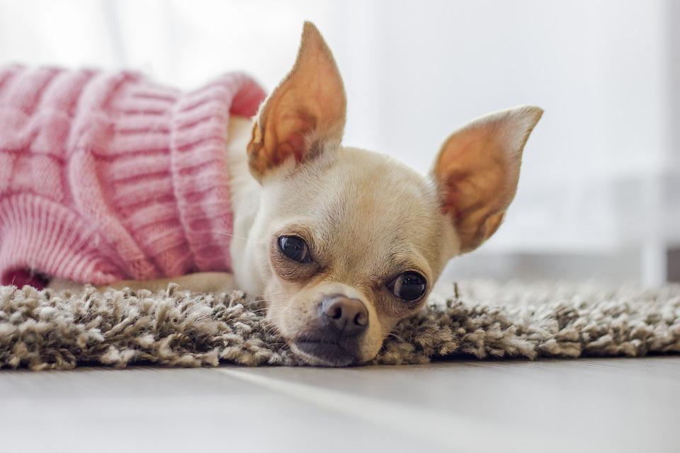Haine pentru câini - cum să vă măsurați câinele pentru a alege haina potrivită?