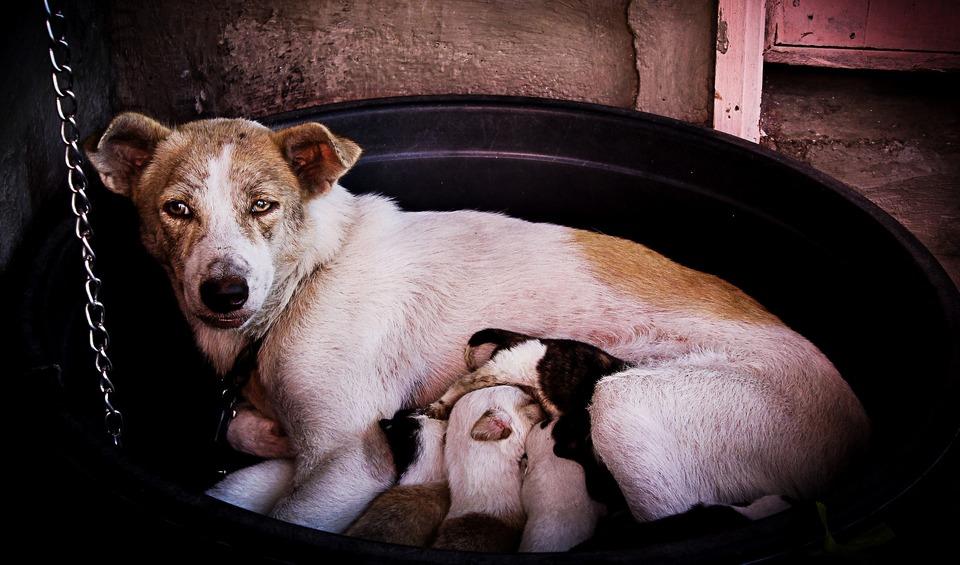 Najlepsze mleko dla szczeniąt pochodzi od ich matki. Jakim mlekiem je zastąpić?