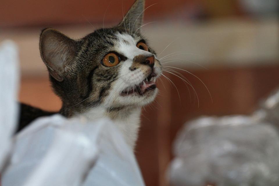Dieta BARF – trebuie hrănite pisicile cu carne crudă?