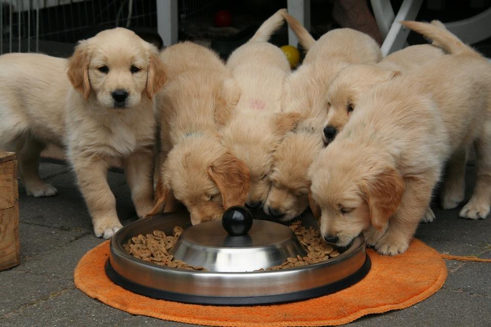 Nutriția cățelului - cum ar trebui să arate?  Cu ce și cât de des hrănim câinii tineri?