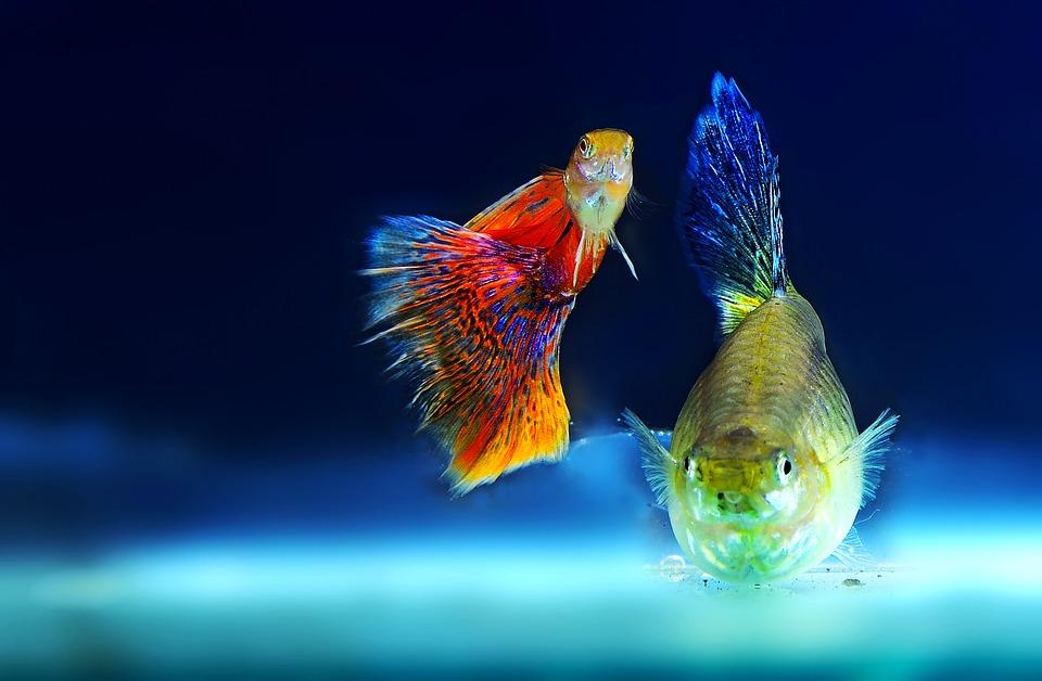 Ce pești luăm pentru primul acvariu?