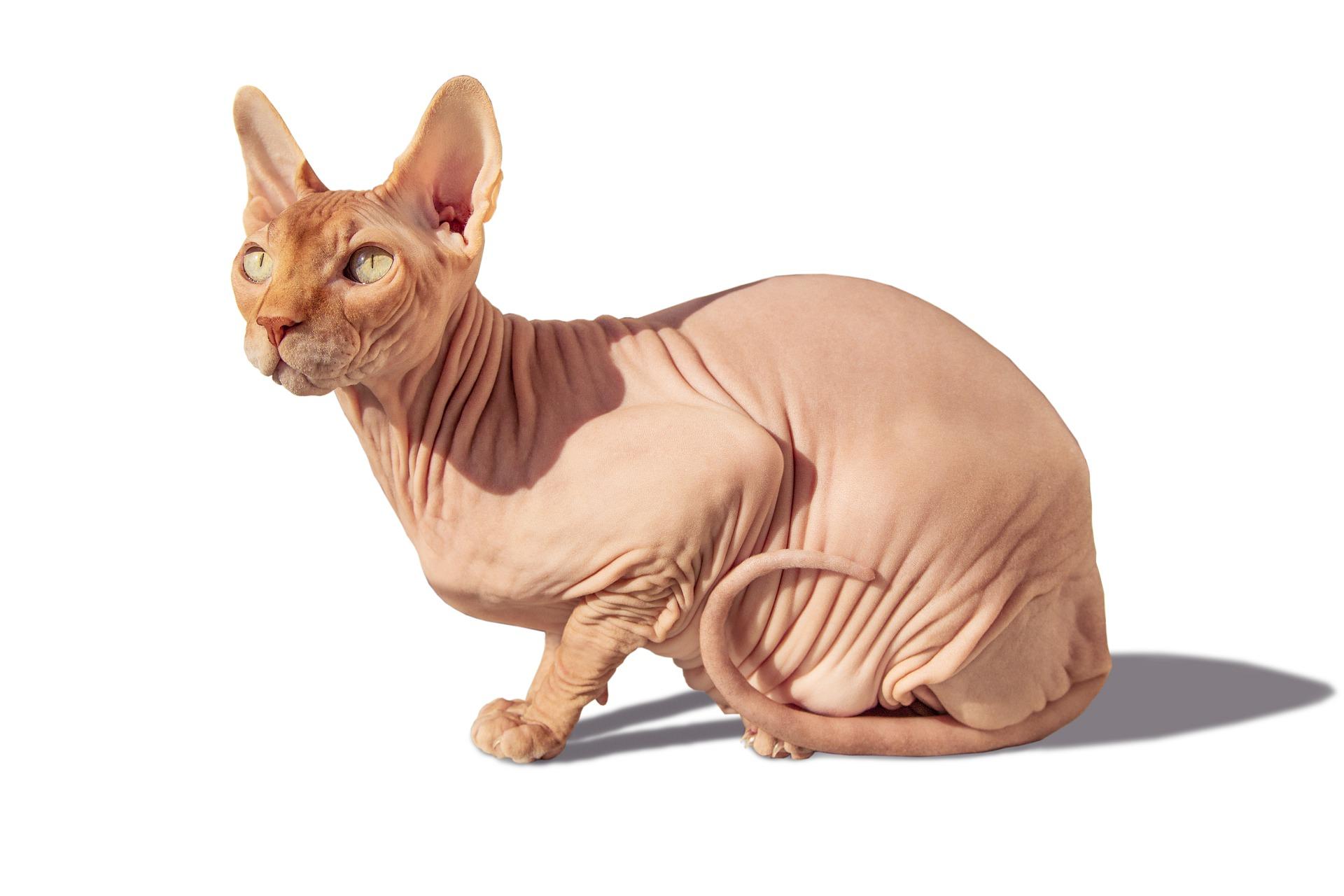 Pisica Sphynx – cele mai importante informații despre rasă